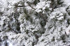 Fondo de ramas coníferas Fotografía de archivo