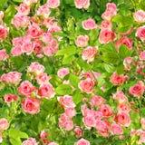Fondo de ramificaciones con las flores rosadas de las rosas Fotos de archivo