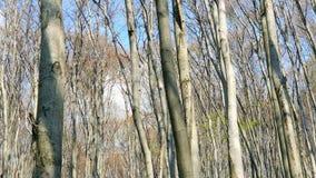 Fondo de ?rboles en el panorama del bosque de ?rboles en el granangular de la lente Claro del bosque, con la hierba verde y almacen de metraje de vídeo