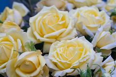 Fondo de Rose Foto de archivo libre de regalías