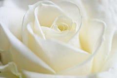 Fondo de Rose imágenes de archivo libres de regalías