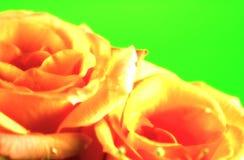 Fondo de Rose fotografía de archivo