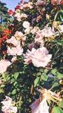 Fondo de Rosebush de las rosas blancas fotos de archivo libres de regalías