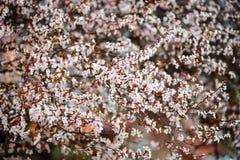 Fondo de Sakura Flower o de Cherry Blossom With Beautiful Nature Imagenes de archivo
