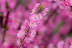 Fondo de Sakura Flower o de Cherry Blossom With Beautiful Nature Imagen de archivo libre de regalías