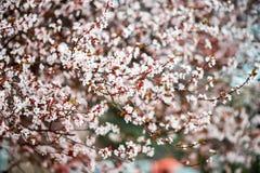 Fondo de Sakura Flower o de Cherry Blossom With Beautiful Nature Imágenes de archivo libres de regalías