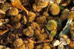 Fondo de shelles de la castaña dulce Foto de archivo libre de regalías