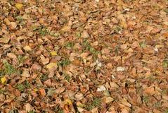 Fondo de textura de las hojas caidas de un álamo Una alfombra del otoño del follaje Foto de archivo libre de regalías
