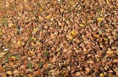 Fondo de textura de las hojas caidas de un álamo Una alfombra del otoño del follaje las hojas secas dadas vuelta del otoño amaril Foto de archivo libre de regalías
