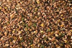 Fondo de textura de las hojas caidas de un álamo Una alfombra del otoño del follaje las hojas secas dadas vuelta del otoño amaril Imagen de archivo