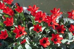 Fondo de tulipanes rojos florecientes en primavera Imagen de archivo