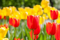 Fondo de tulipanes rojos y amarillos Fotografía de archivo libre de regalías