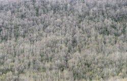 Fondo de un bosque del abedul en una ladera Fotos de archivo libres de regalías
