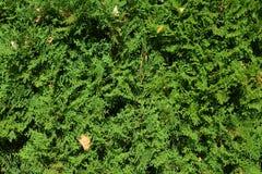 Fondo de un enebro verde en el jardín Foto de archivo libre de regalías