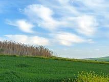 Fondo de un Phragmites de lámina australis en hierba verde y cielo azul Fotografía de archivo libre de regalías