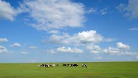 Fondo de vacas bajo el cielo azul y las nubes blancas Foto de archivo