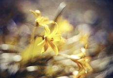 Fondo defocused astratto con il lutea di Gagea del fiore o il giallo Stella-de-Betlemme Fotografie Stock Libere da Diritti