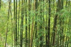 Fondo degli alberi di bambù verdi Immagini Stock
