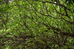 Fondo degli alberi di plumeria Immagini Stock