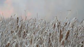 Fondo degli incendi violenti o del fuoco della tempesta nella steppa della foresta Gran quantità delle fiammate dell'erba asciutt stock footage