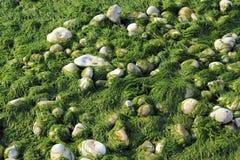 Fondo dei ciottoli e dell'alga Fotografia Stock Libera da Diritti