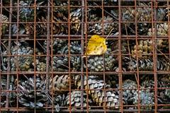 Fondo dei coni attillati, degli aghi e della foglia gialla Fotografia Stock Libera da Diritti