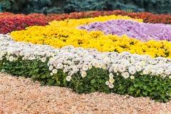 fondo dei crisantemi freschi variopinti un giorno soleggiato Fotografia Stock