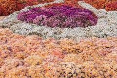 fondo dei crisantemi freschi variopinti un giorno soleggiato Fotografie Stock