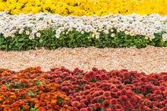 fondo dei crisantemi freschi variopinti un giorno soleggiato Fotografia Stock Libera da Diritti