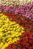 fondo dei crisantemi freschi variopinti un giorno soleggiato Immagini Stock