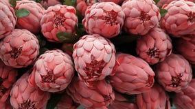 Fondo dei fiori artificiali rossi di Aristata del Protea Fotografie Stock Libere da Diritti