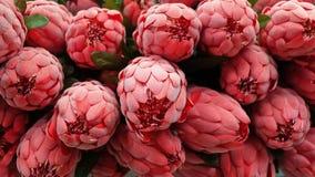 Fondo dei fiori artificiali rossi di Aristata del Protea Fotografia Stock Libera da Diritti