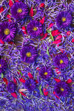 Fondo dei fiori blu e rossi Fotografia Stock Libera da Diritti