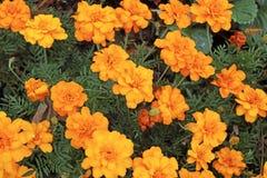 Fondo dei fiori del tagete Fotografia Stock