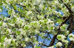 Fondo dei fiori della ciliegia Fotografia Stock Libera da Diritti