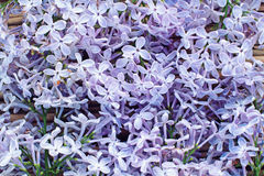 Fondo dei fiori di fioritura del lillà Fotografie Stock Libere da Diritti