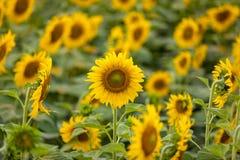Fondo dei girasoli nel giorno soleggiato Concetto di affari di agricoltura Immagini Stock Libere da Diritti