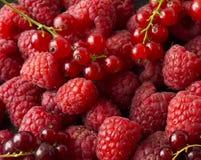 Fondo dei lamponi e del ribes rosso Primo piano fresco delle bacche Vista superiore Priorità bassa delle bacche rosse Varia frutt Immagine Stock Libera da Diritti