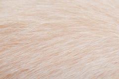 Fondo dei modelli della pelliccia del gatto, struttura morbida del fuoco della natura marrone chiaro immagine stock
