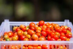 Fondo dei pomodori ciliegia Fotografia Stock Libera da Diritti