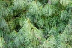 Fondo dei rami del pino himalayano in parco fotografia stock libera da diritti