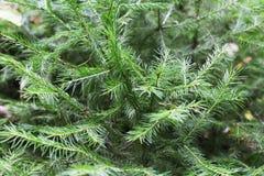 Fondo dei rami dell'albero di Natale Immagine Stock Libera da Diritti