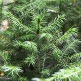 Fondo dei rami dell'albero di Natale Fotografia Stock