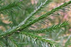 Fondo dei rami dell'albero di Natale Fotografie Stock