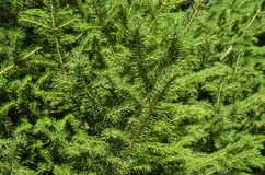 Fondo dei rami dell'albero di Natale fotografia stock libera da diritti