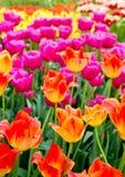 Fondo dei tulipani Immagini Stock Libere da Diritti