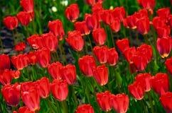 Fondo dei tulipani del fiore Bella vista dei tulipani rossi e della luce solare tulipani rossi, campo dei tulipani Fotografie Stock Libere da Diritti