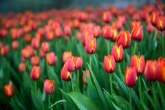 Fondo dei tulipani del fiore Bello punto di vista dei tulipani di colore Fotografia Stock