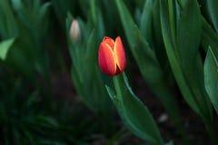 Fondo dei tulipani del fiore Bello punto di vista dei tulipani di colore Fotografia Stock Libera da Diritti