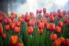 Fondo dei tulipani del fiore Bello punto di vista dei tulipani di colore Fotografie Stock Libere da Diritti